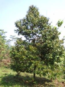 salah satu pohon durian
