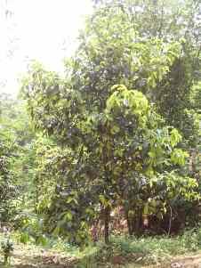 salah satu pohon manggis